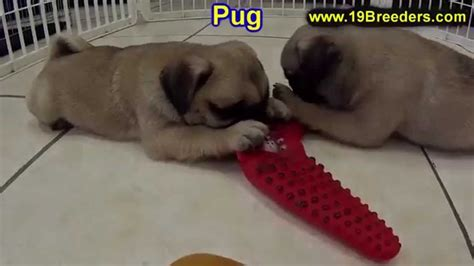 pug puppies for sale portland oregon pug puppies for sale in lewiston maine me augusta biddeford auburn south