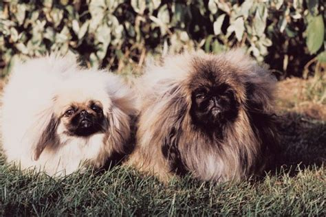 aggression in pekingese pets