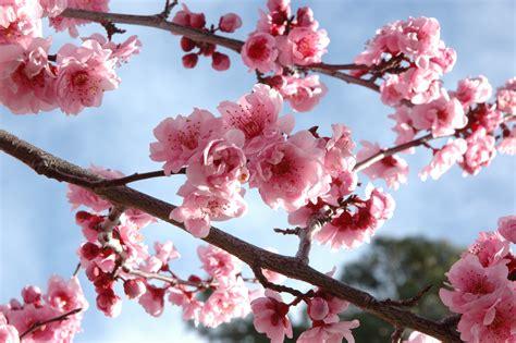 The World S Best Flower Shows Splendia Cherry Blossom Branch