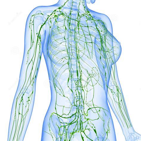 vaso linfatico conoces tu sistema linf 225 tico rrmedicina biol 243 gica