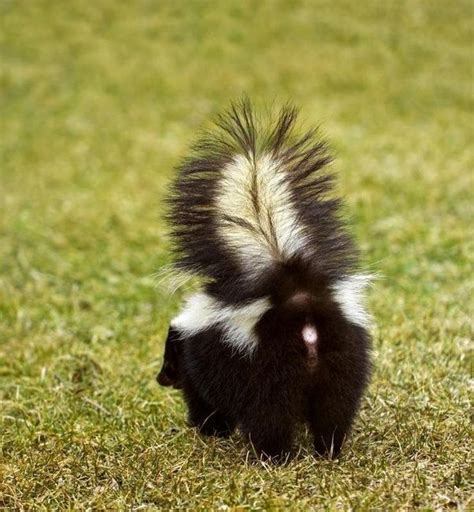 why does my house smell like skunk why is skunk spray toxic and how harmful could it be to
