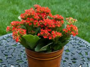 Kalanchoe How To Grow And Care For Kalanchoe World Of Succulents