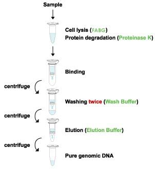 proteinase k dna extraction genomic dna extraction blood dna mini maxi kit