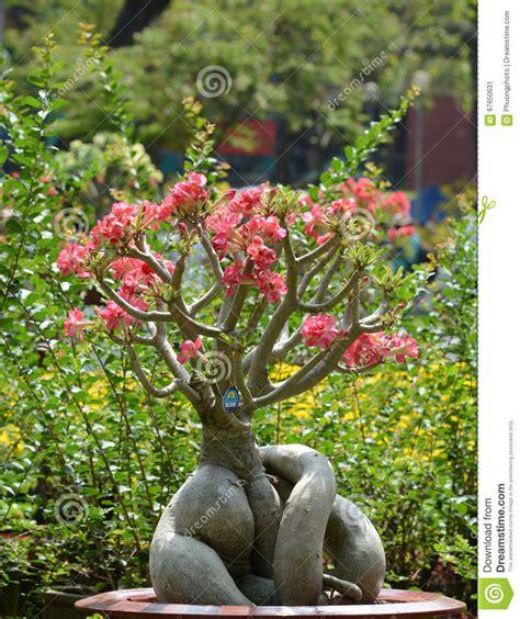 albero fiori rosa albero e fiori rosa di plumeria in giardino immagine stock