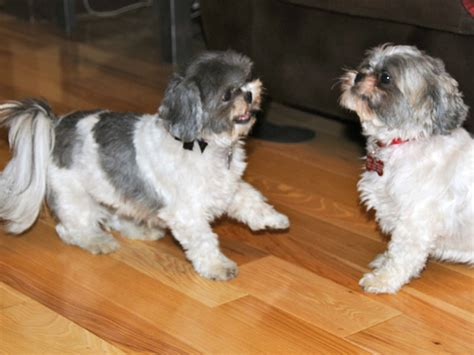 housebreaking a shih tzu barking shih tzu 1001doggy
