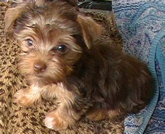 chocolate yorkies alaska teacup chocolate yorkie puppy quot snickers quot at 8 weeks yorkies yorkie