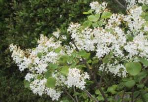 White Flowered Shrubs - flowering shrubs with white flowers pictures to pin on pinterest pinsdaddy