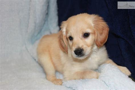 copper golden retriever puppies golden retriever puppy for sale near joplin missouri fcea2c53 1a81