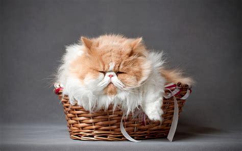 wallpaper persian cat cat persian wallpapers free download