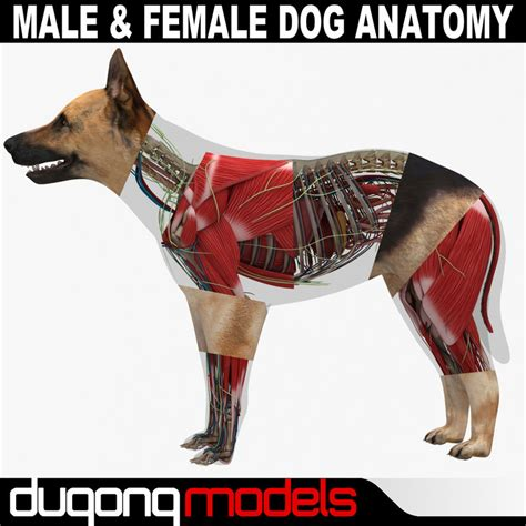 puppy anatomy anatomy bulbus glandis