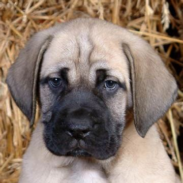 american mastiff puppies american mastiff puppy for the home