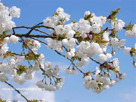 best 7 spring flowering trees images on pinterest
