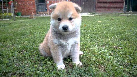 akita inu puppies akita inu puppy