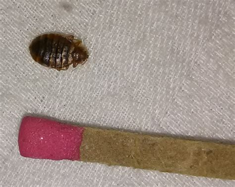 what time do bed bugs come out how to get rid of mites in your bed mitey fresh building biology