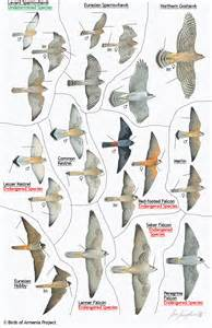 Backyard Bird Center Plate 15 Sparrowhawks Goshawks Kestrels Falcons
