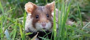 types hamster atol protected race to save the great hamster of alsace daily
