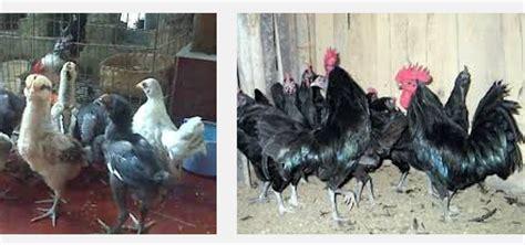 Bibit Ayam Ras Terbaru harga ayam pelung terbaru situs ayam bangkok 2017