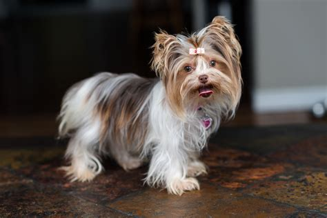 what is a parti yorkie a guide to your yorkie my yorkies