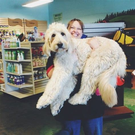haircuts for dogs in andrews texas best 25 standard goldendoodle ideas on pinterest