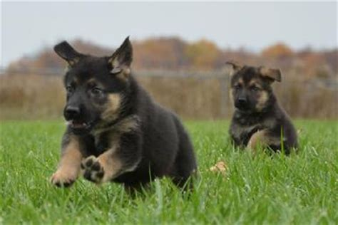 cheap puppies for sale in nc german shepherd puppies nc cheap breeds picture