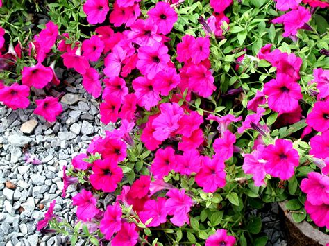 complementary of pink wallpapers pink petunia flowers wallpapers