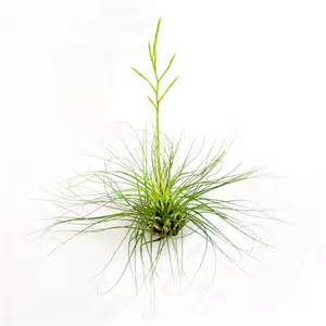 air plants filifolia air plants tillandsia filifolia