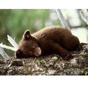 Encyclopaedia Of Babies Beautiful Wild Animals The Brown Bear Cub