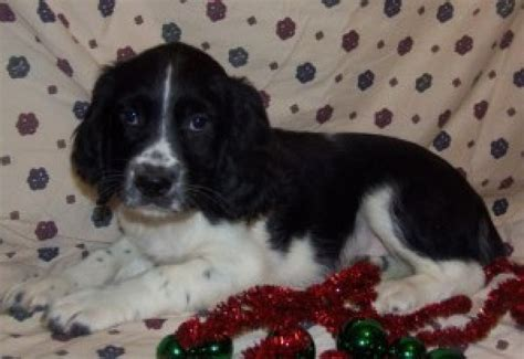 spaniel puppies for adoption springer spaniel for free adoption offer