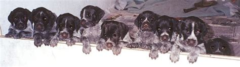drahthaar puppies for sale puppies for sale breeds picture