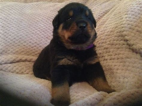 rottweiler puppies ready for rottweiler puppies ready end of december wisbech cambridgeshire pets4homes