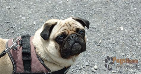 free pugs in michigan a detailed guide on michigan pug rescue for pug enthusiasts