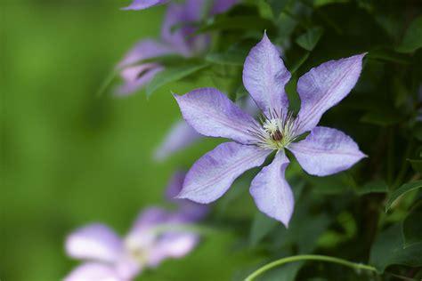 grow plant clematis vines  garden glove