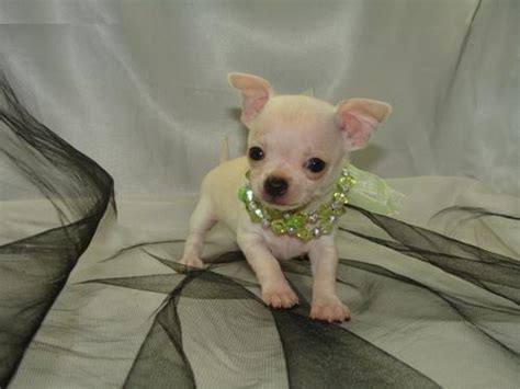 cheap teacup chihuahua puppies for sale chihuahua puppies for sale breeds picture