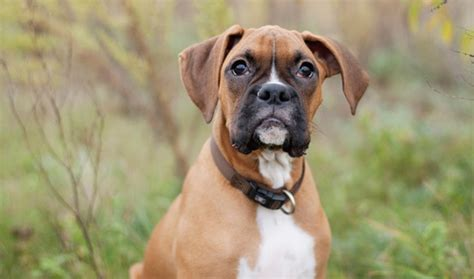 boxer facts boxer breed information