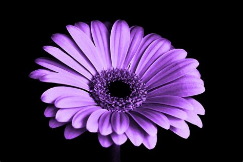 petal color free images black and white flower purple petal