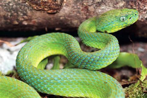 imagenes de viboras verdes photo stunning new pit viper discovered in honduras