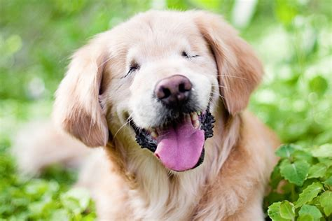 pretty golden retriever smiley the golden retriever by happy tails pet photography pretty fluffy