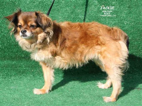 tibetan spaniel pug mix tibetan spaniel pug mix breeds picture