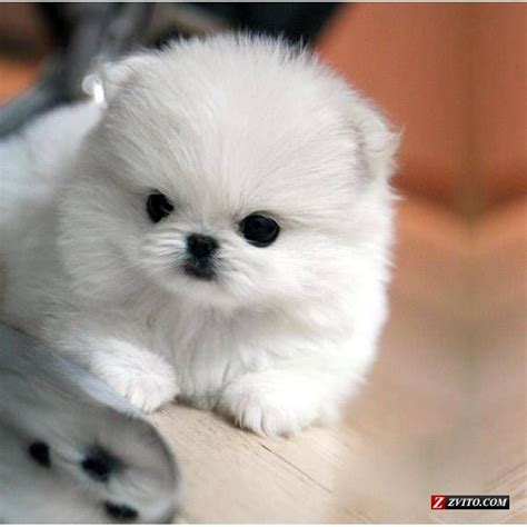 pomeranian coughing and 25 best ideas about white pomeranian on white