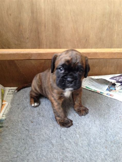boxer puppies for sale colorado boxer puppy brindle spennymoor county durham pets4homes