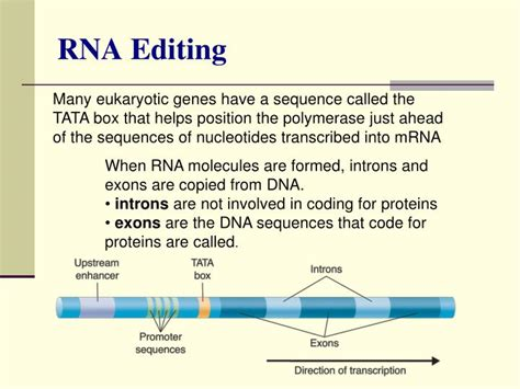 Many Rna Molecules From Eukaryotic Genes Sections Called by Ppt Chapter 12 Dna The Molecule Of Heredity Powerpoint