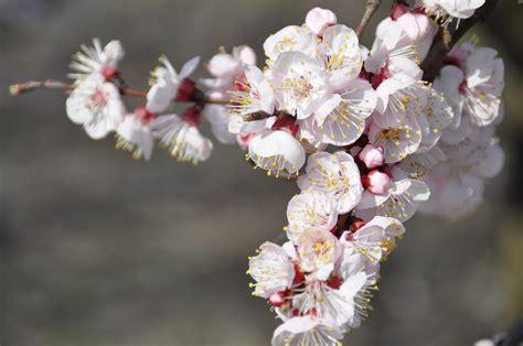 fiori albicocco albicocco in fiore viaggi vacanze e turismo turisti
