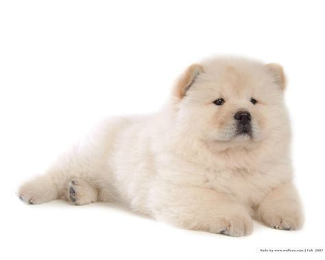 chow puppy chow chow puppy wallpaper puppies wallpaper 13936828 fanpop