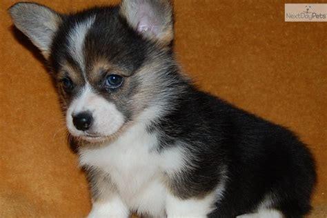 corgi puppies for sale in arkansas corgi puppies for sale 0 00 pembroke corgi puppies for sale breeds picture
