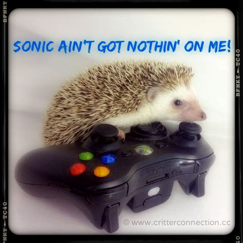 Hedgehog Memes - 111 best hedgehog memes funnies quotes and misc millermeade farm s critter connection