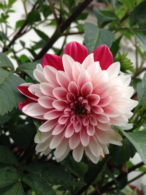 photos of colombia flowers dahlia 48 best images about colombian flowers on pinterest