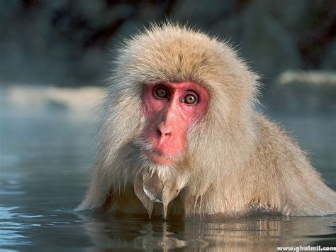 monkey background beautiful wallpapers monkey hd wallpapers