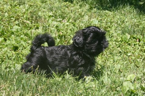 shih tzu breeders in pa shih tzu breeders in pennsylvania assistedlivingcares