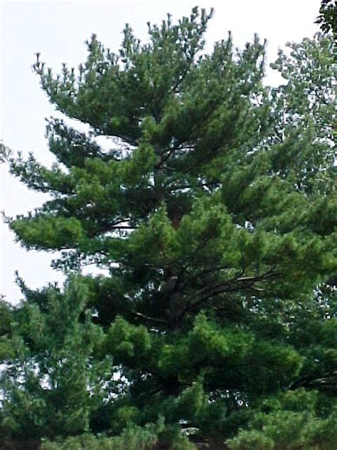 white pine tree care 5 needles cluster tree alliance