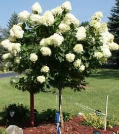 hydrangea tree on pinterest limelight hydrangea hydrangea quercifolia and pruning hydrangeas